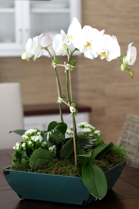 tall white Phalaenopsis orchid in a blue pot