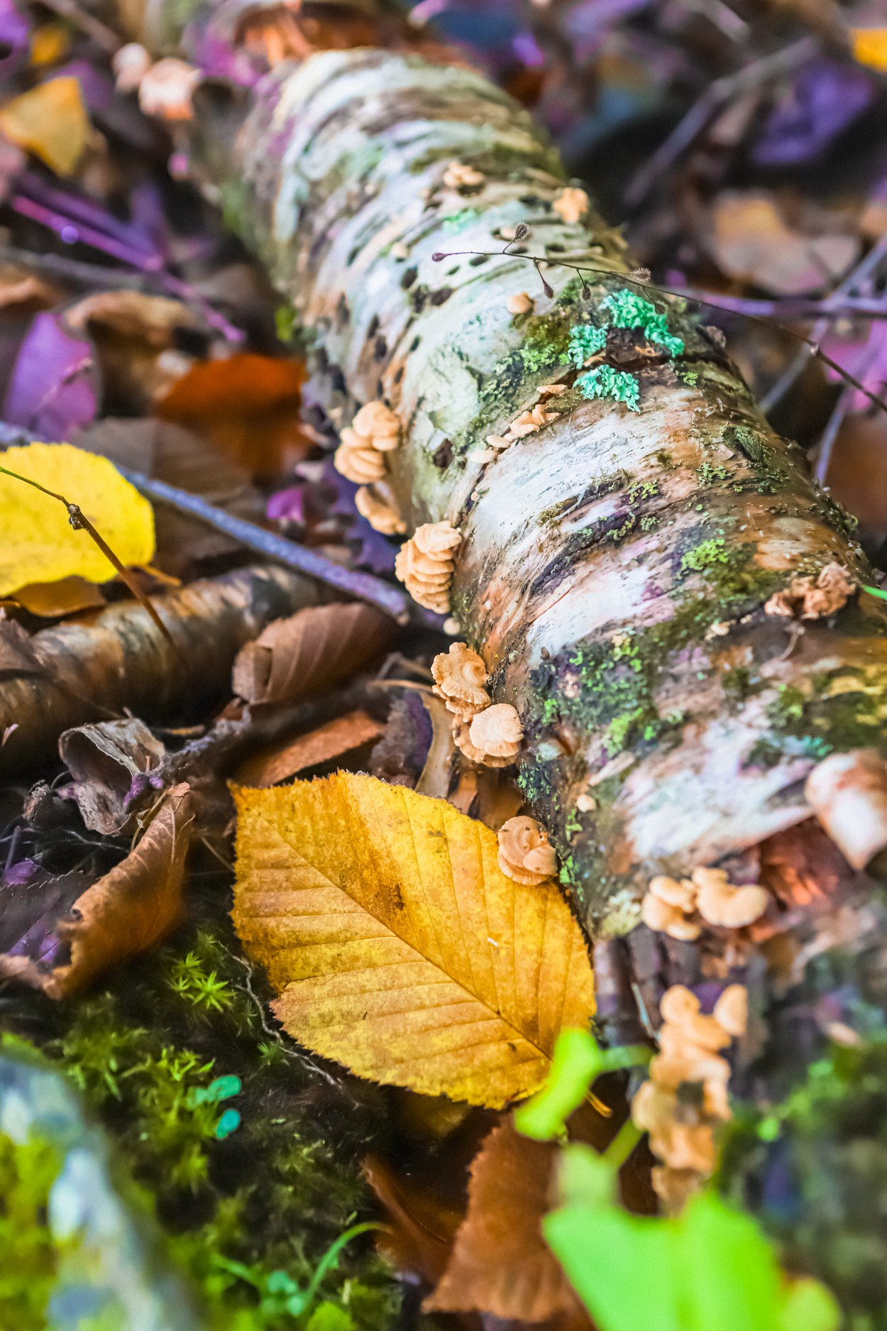 Moss and lichen covered birch branch sitting on ground surrounded by colorful leaves