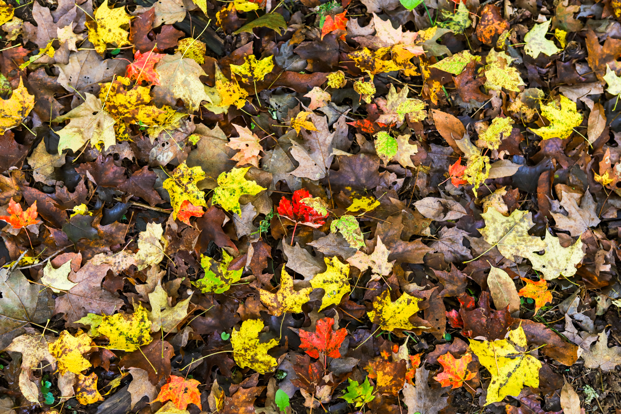 Red and yellow Fall colored leaves sitting on the ground in Vermont